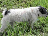 Jack Russell Terrier - 'kory' - Adopted! - Small -