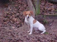 Jack Russell Terrier - Ladybug - Medium - Young -