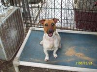 Jack Russell Terrier - Lucky - Small - Adult - Male -