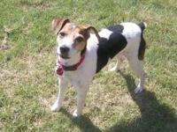 Jack Russell Terrier - Marty - Small - Adult - Male -