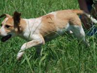 Jack Russell Terrier - Matilda - Medium - Young -