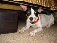 Jack Russell Terrier - 'maylee' - Small - Young -