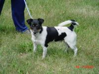 Jack Russell Terrier - Mazie And Dixie/sisters - Small