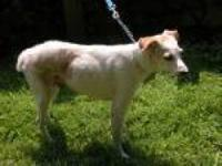 Jack Russell Terrier - Mindy - Small - Adult - Female -
