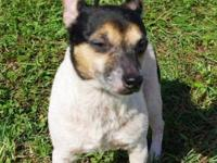 Jack Russell Terrier - Minnie - Small - Adult - Female