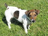 Jack Russell Terrier - 'miss Sadie' - Small - Adult -