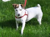 Jack Russell Terrier - Molly - Small - Adult - Female -