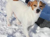 Jack Russell Terrier - Molly - Small - Senior - Female