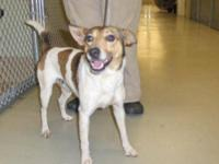Jack Russell Terrier - Moses - Small - Adult - Male -