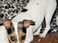 Jack Russell Terrier - 'niki' - Small - Young - Female