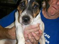 Jack Russell Terrier - Odie - Small - Adult - Male -
