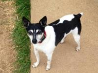 Jack Russell Terrier (Parson Russell Terrier) - 420122