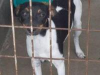 Jack Russell Terrier (Parson Russell Terrier) If you