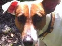 Jack Russell Terrier (Parson Russell Terrier) This is