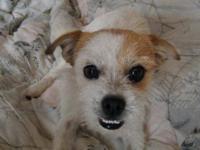 Jack Russell Terrier (Parson Russell Terrier) - Baxter