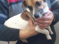Jack Russell Terrier (Parson Russell Terrier) - Biscuit