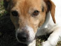 Jack Russell Terrier (Parson Russell Terrier) - Chester