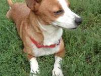 Jack Russell Terrier (Parson Russell Terrier) - Denny -