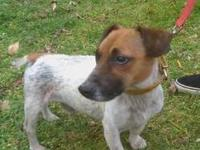 Jack Russell Terrier (Parson Russell Terrier) - Dink -