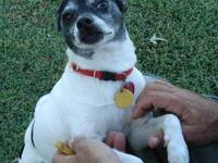 Jack Russell Terrier (Parson Russell Terrier) - Mason -