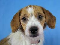 Jack Russell Terrier (Parson Russell Terrier) - Mitizi