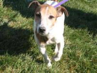 Jack Russell Terrier (Parson Russell Terrier) - Nina -