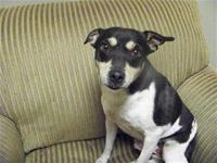 Jack Russell Terrier (Parson Russell Terrier) - Pablos