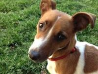 Jack Russell Terrier (Parson Russell Terrier) - Piper -