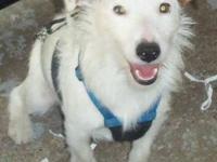Jack Russell Terrier (Parson Russell Terrier) - Ranger