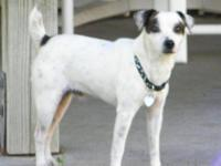 Jack Russell Terrier (Parson Russell Terrier) - 'raven'