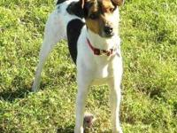 Jack Russell Terrier (Parson Russell Terrier) - 'skip'