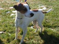 Jack Russell Terrier (Parson Russell Terrier) - Toby -