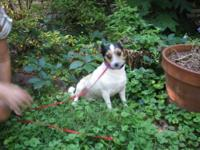 Jack Russell Terrier - Patches - Small - Adult - Female