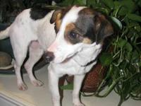 Jack Russell Terrier - Pinky - Small - Adult - Female -
