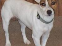 Jack Russell Terrier - Pirouette - Small - Adult -