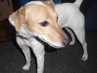 Jack Russell Terrier - Pixie - Small - Baby - Female -