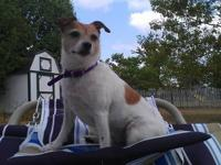 Jack Russell Terrier - Princess - Small - Adult -