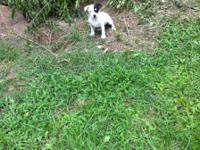 Cute, playful little Jack Russell pup 10 weeks old,