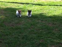 English Jack Russell Puppies, 9 weeks old. Male and