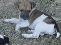 6 Very cute Short Legged Jack Russell Terrier Puppies