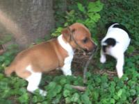 Jack Russell Terrier puppies for sale! 2 males