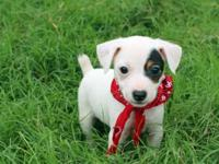 We have two litters of Jack Russells available! Our