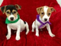 Amazing 10 week old, Jack Russell Terrier Puppies.