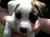 Purebred Jack Russell pups born upon Valentines Day are