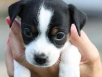 We have 7 gorgeous Jack Russell Terrier Puppies for