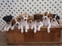 Outstanding, purebred Jack Russell Terrier puppies