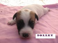 These are short legged Jack Russell puppies. We have 1
