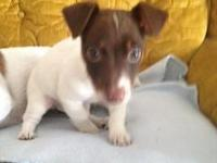 Jack Russell Terrier puppies,UKC, 8 weeks old. Two