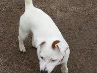 Precious female JRT. This puppy is super smart,