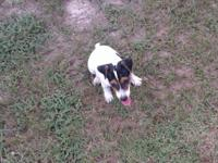 I have a male Jack Russell puppy looking for his new
